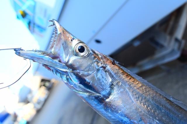 タチウオの釣り方は?キビナゴと電気ウキを使った夜のウキ釣りを紹介!-アイキャッチ