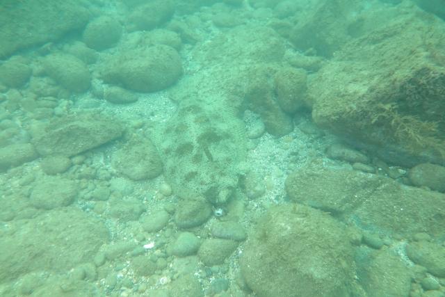 ヒラメ 水中
